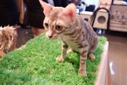210隻國際名種貓 進駐台北寵物用品展
