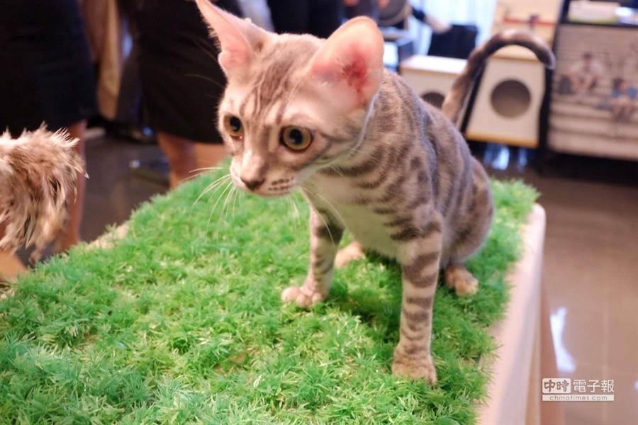 身價50萬元的巧克力豹貓,圖為5個月的小貓。(業者提供)