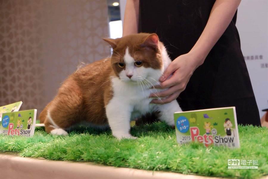 肉桂白雙色英國短毛貓,全球僅100隻,目前台灣僅一隻,要價50萬元。(業者提供)