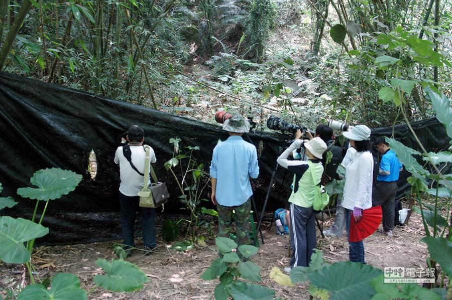 雲林野鳥學會上周緊急拉起黑網,讓八色鳥安心孵蛋育雛,拍鳥人士都遵守規範在黑網外,以大砲獵取鏡頭。(周麗蘭攝)