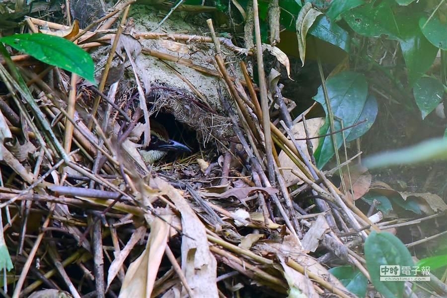 正在鳥巢孵蛋中的八色鳥。(雲林野鳥學會常務理事吳崇漢提供)