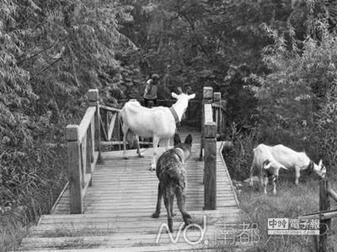 放羊的老太太把公園當牧區,民眾拿她沒轍。(取自南方都市報)