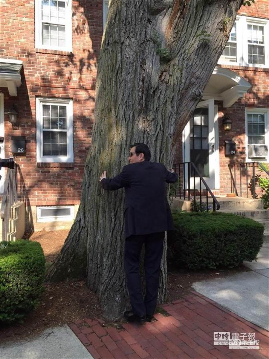 馬英九總統回哈佛母校,看到最愛的樹,不禁張臂擁抱。(林思慧攝)