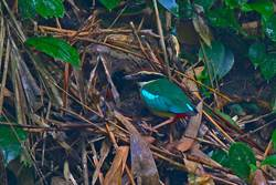 八色鳥小鳥孵出啦 賞鳥客半夜卡位搶拍