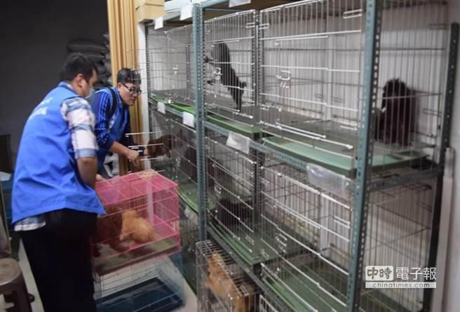 動保處26日凌晨於新莊「成功寵物坊」查獲大量非法販賣犬貓及繁殖場,當場救援215隻貴賓、馬爾濟斯、哈士奇及鬥牛犬等名種犬隻及5隻美國摺耳貓。(池雅蓉翻攝)