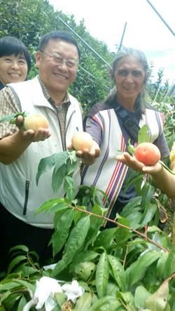 認養梨山水蜜桃 果農收入增加樂陶陶