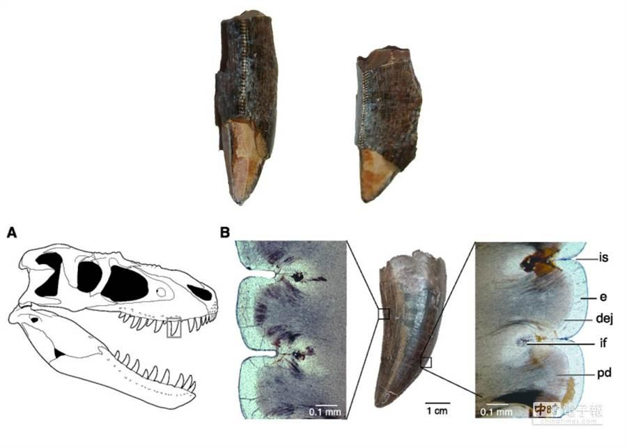 國家同步輻射中心利用紅外光譜顯微術,分析暴龍科恐龍牙齒化石,證實牙齒表面鋸齒狀是天生的,而非後天造成。(國家同步輻射中心提供)
