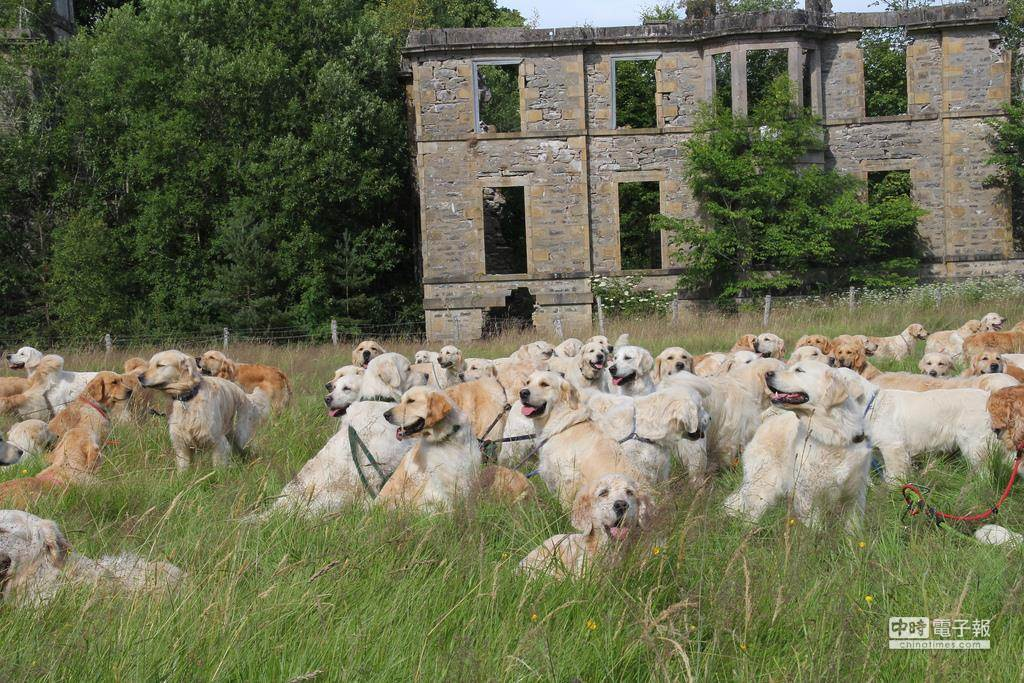 這麼多隻黃金獵犬聚在一起,網友很替主人擔心,要是弄錯隻就把別人家寶貝帶回家了。(圖摘自狗民網)