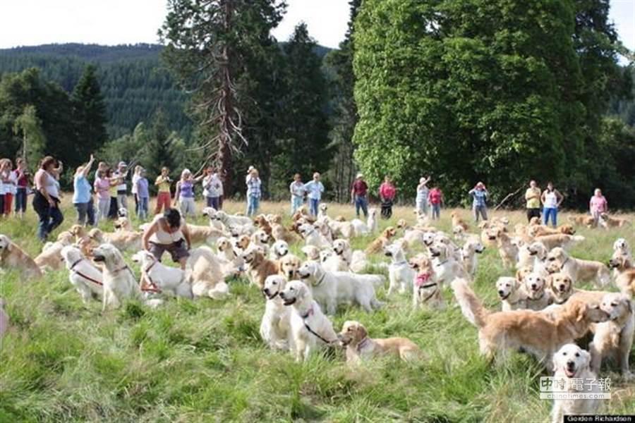 222隻黃金獵犬聚在一起的可愛畫面,讓愛狗的人看了都融化。(圖摘自狗民網)