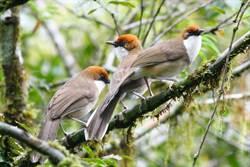 莫拉克風災石山林道 繁殖鳥類觀察好據點
