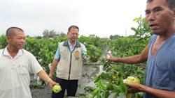 蘇迪勒伴隨焚風 彰化南區農業重創