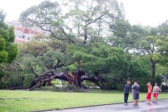 蘇迪勒侵襲 吹倒成大百歲老榕樹