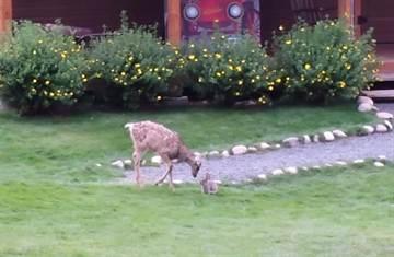 現實版《小鹿斑比》 真實世界上演