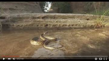 蟒蛇慘遭螞蟻生吞活剝 只因為牠做了一件事...