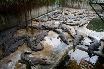 貴婦最愛的天價柏金包 鱷魚皮從哪裡來?