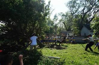 大榕樹被吹倒 陸豐國小90師生「拔河救樹」