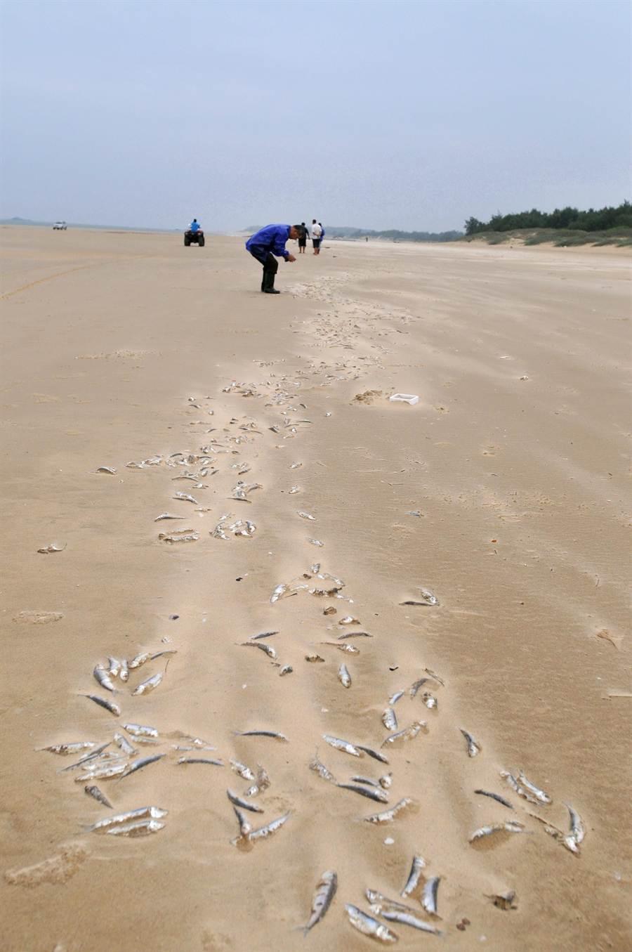 死魚數量估計逾2萬隻,有人撿拾充作天然有機肥料。(李金生攝)