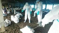 雲林8900隻肉鴨染禽流感將撲殺  嘉南2鵝場也挫咧等