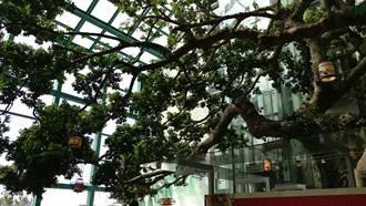 杜鵑吹浪沖破餐廳大門 250歲老榕樹安然無恙