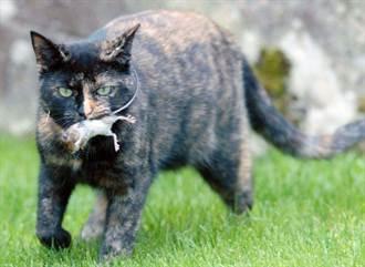 小鼠求饒 花貓棄食為友