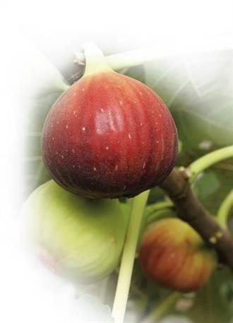 生命之果營養豐 無花果護眼降血壓