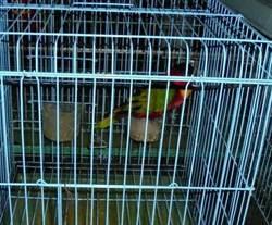 父子為寵物鸚鵡找男友 翻牆行竊失風遭逮