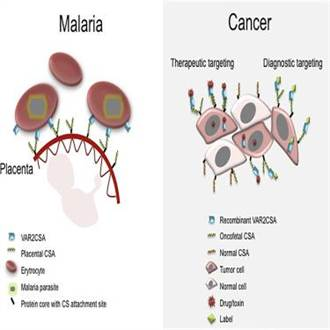 癌症新發現 瘧原蟲身藏治癌關鍵