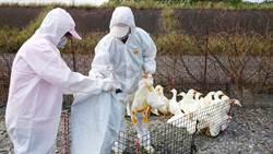 禽流感再爆發 屏東鴨、雞中標