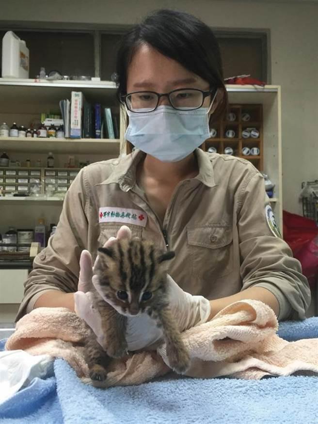 名間鄉民眾拾獲出生僅10多天的石虎幼獸,特生中心獸醫師細心呵護,健康狀況不錯。(農委會特生中心提供)