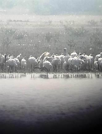 黑面琵鷺保育季開跑 台南賞鳥正是時候