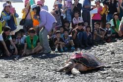 海龜救援案例中最大隻 母玳瑁「阿飛」宜蘭野放