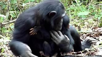 黑猩猩協力照顧障礙兒首例