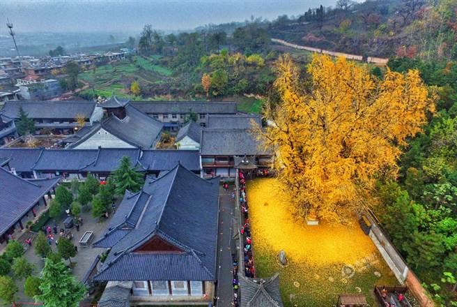 相傳這棵銀杏樹已有1400年歷史,是由唐太宗李世民所栽。(微博)
