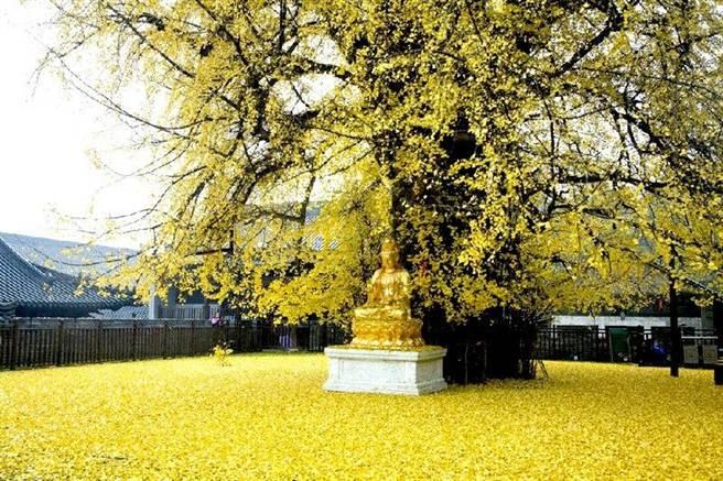 古銀杏落葉讓地面像是鋪成黃金毯一樣。(新唐人)