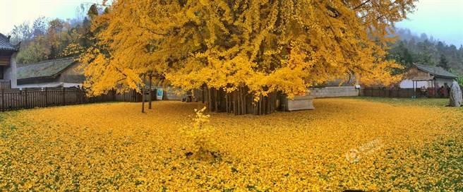 千年銀杏樹下落滿黃葉。(華商報)