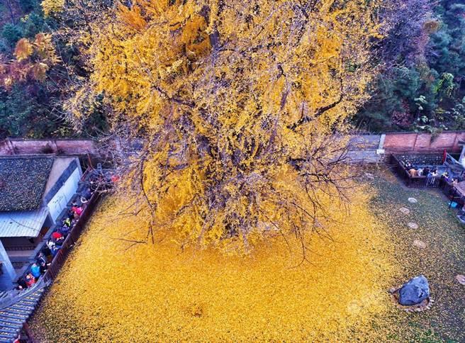 傳說這棵銀杏樹還跟「魏徵夢斬龍王」有關。(視覺中國)