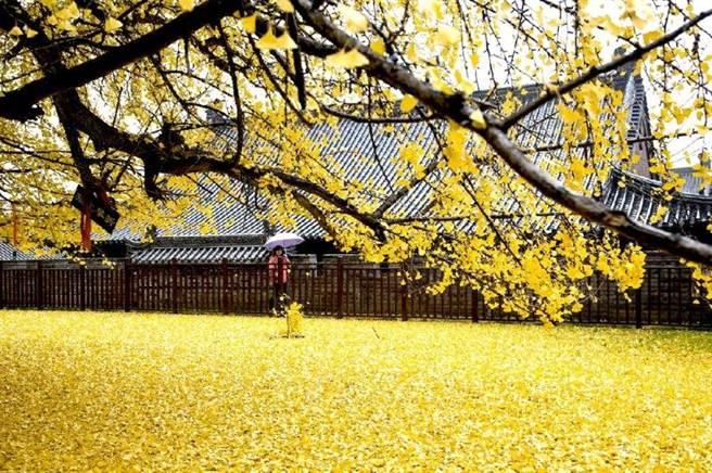 這棵銀杏的落葉讓地上像是鋪上黃金毯。(新唐人)