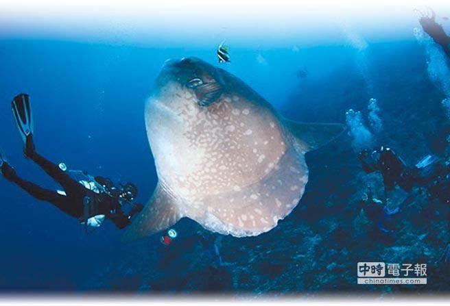 印尼把曼波魚當作「海洋金雞母」,可與潛水客互動合照。(鄭明修提供)