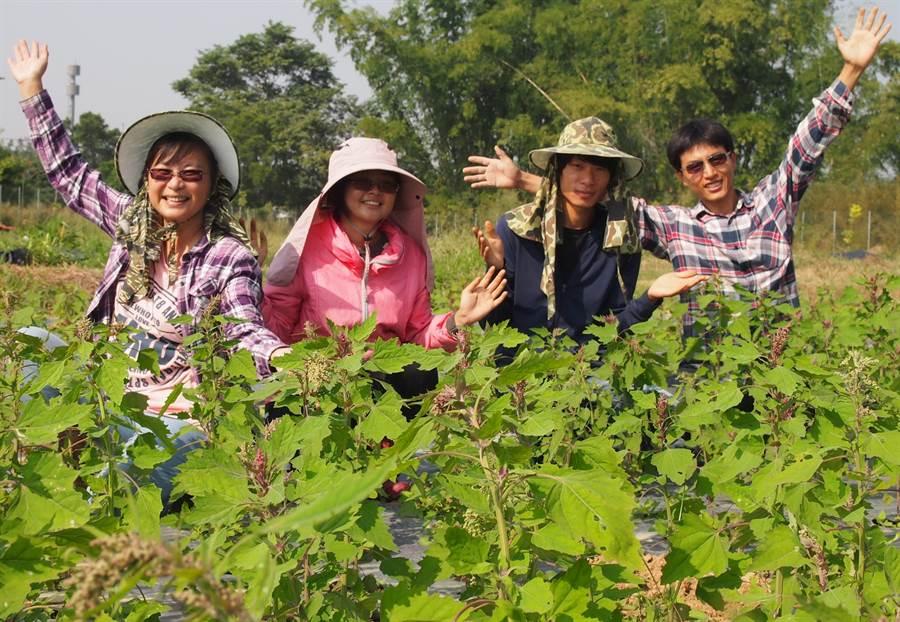 加蚋埔有機農業專區目前種植有機紅藜,農夫們雖有不同背景,但同心協力克服困難,為食安及環境盡力。(潘建志攝)