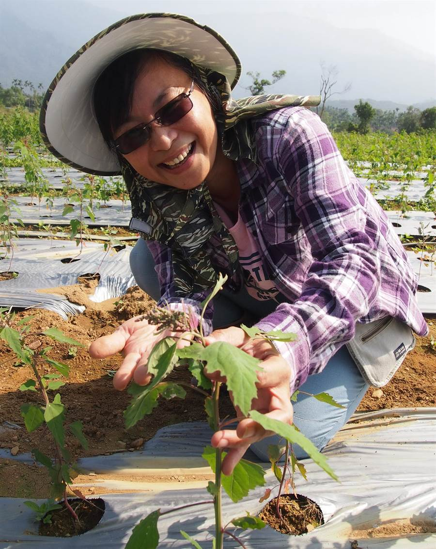 加蚋埔有機農業專區目前種植有機紅藜,最近有氣候高溫造成紅藜提早抽穗的現象。(潘建志攝)