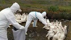 屏縣發現禽流感 撲殺8千餘隻土番鴨