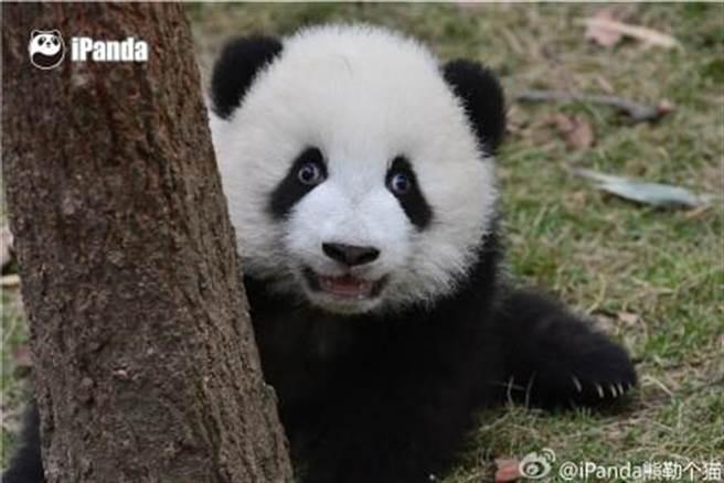 大陸iPanda熊勒个猫微博發「嚇死寶寶了」貓熊表情九連拍。(iPanda熊勒个猫微博)