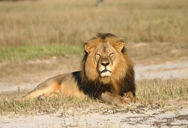 辛巴威明星獅王塞西爾(Cecil)。(圖/美聯社)