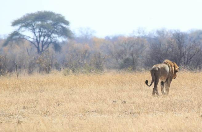 2015年8月6日,辛巴威萬基國家公園內,一隻叫Tommy的獅子走過獅王塞西爾遭獵殺的地點。(圖/美聯社)