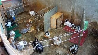 未分籠飼養 4兔子、天竺鼠變55隻 急需認養