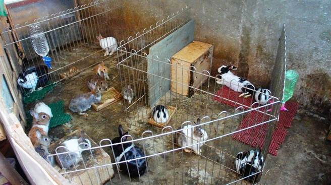 愛兔協會今天到現場查看,發現該戶頂樓加蓋滿滿都是繁殖過剩的兔子和天竺鼠。(愛兔協會提供)