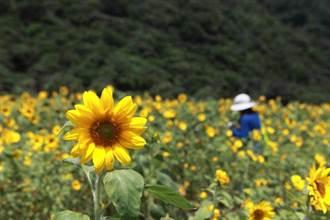 海邊聽濤聲成長的太陽花
