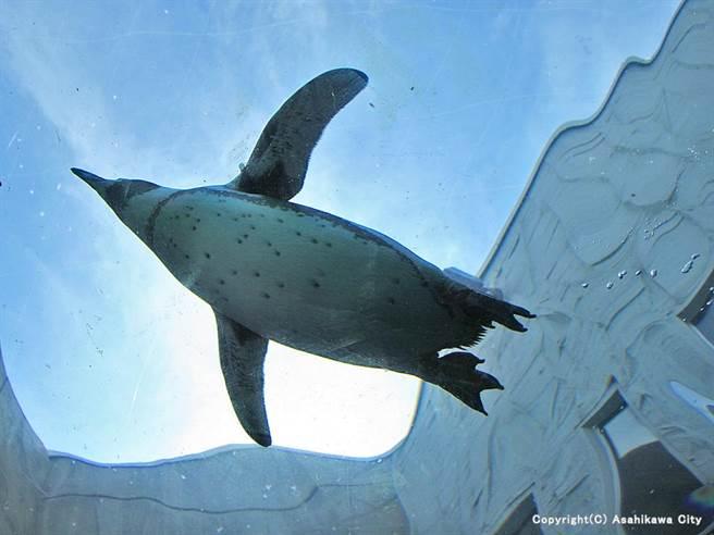 企鵝天空飛:將企鵝的泳池擴大,讓遊客由海底隧道往上觀賞,企鵝彷彿就在天空飛翔。旭川動物園的創新改變,讓原本已經乏人問津的動物園,變身成為超級熱門景點。(圖片來源/旭川市觀光課,感謝星野集團協助)
