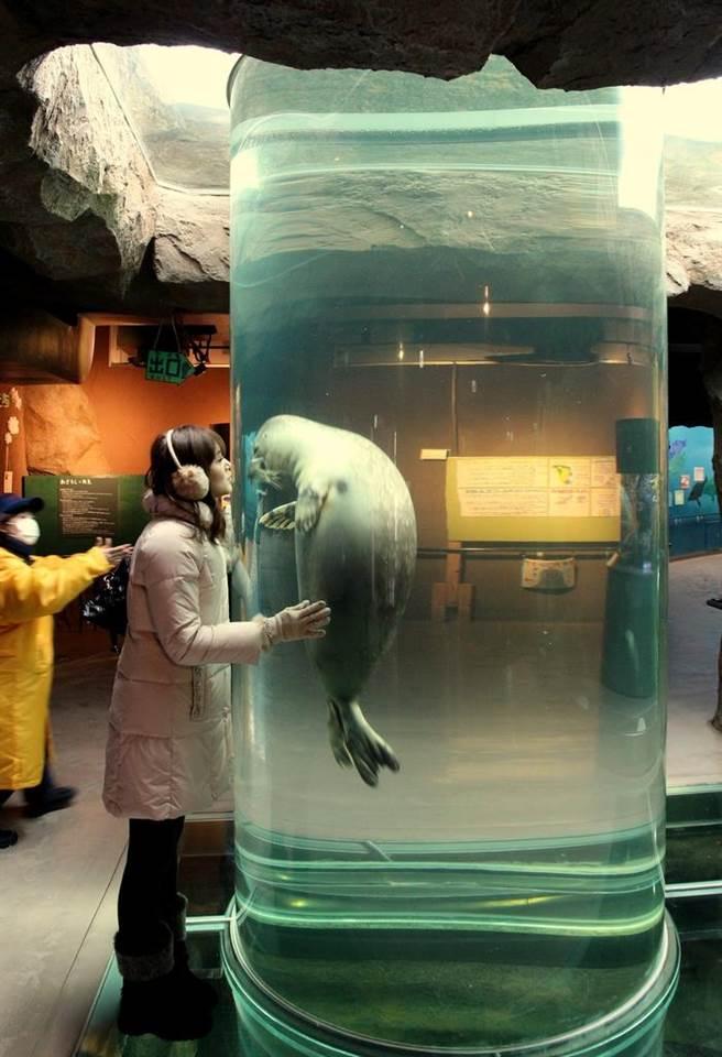 管中擁豹:海豹的習性是上下游,不是左右遊。有了長長的垂直通管,海豹便會快樂的上下穿梭,也會變得人來瘋,與遊客玩起親親抱抱的遊戲。(攝影:史蒂芬昌)