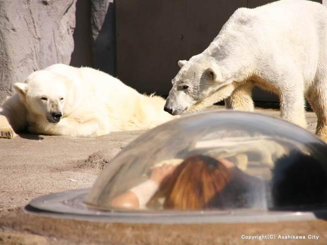 熊來了:探險北極熊巢穴變成最佳親子活動,家長可帶著小孩由洞口窺視北極熊在巢穴的一舉一動。(圖片來源/旭川市觀光課,感謝星野集團協助)